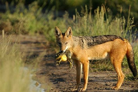Black Backed Jackal Facts, Habitat, Diet, Life Cycle, Baby