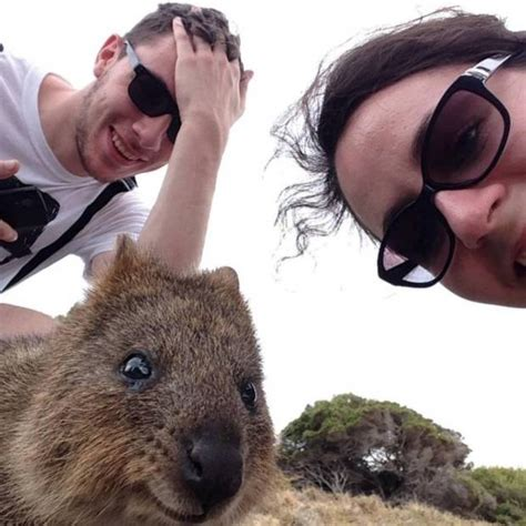 A Quokka is the perfect selfie partner as these amazing